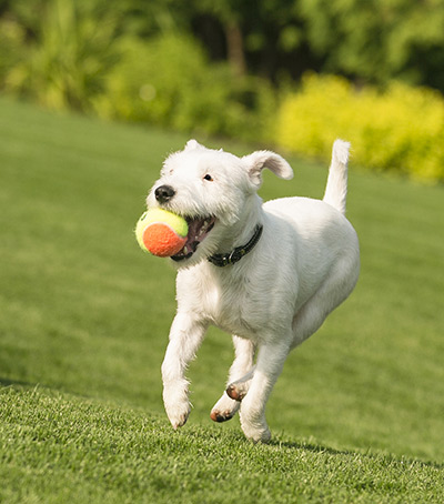 White dog with a tennis ball