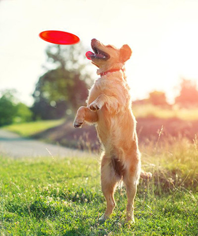 Golden retriever catching a red frisbee
