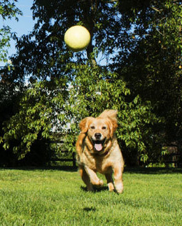 Dog chasing after a ball