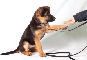 Alsatian pup being trained by dog expert
