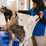 Trainer teaching several dogs patience